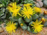 Plante caillou, Lithops en fleurs