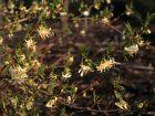 Chèvrefeuille d'hiver, Lonicera fragrantissima