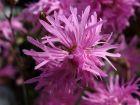 Lychnis fleur de coucou, Lychnide,Oeillet des près, Lychnis flos-cuculi