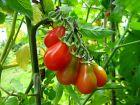 Trucs pour la culture de la tomate