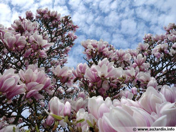 Un magnolia à feuillage caduque se couvrant littéralement de fleurs au printemps