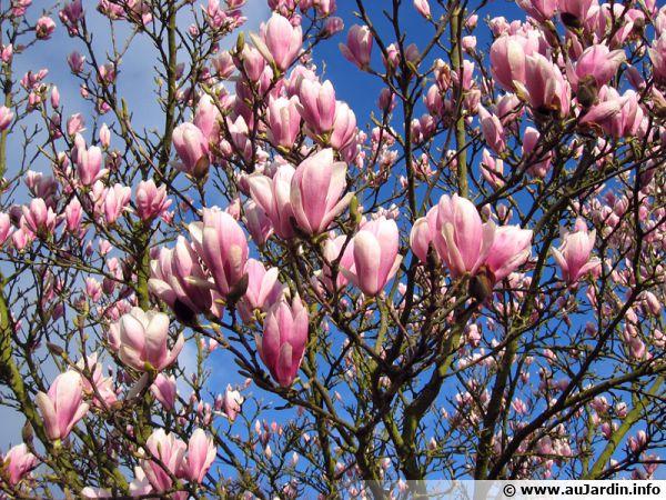 magnolia, magnolier : conseils de culture