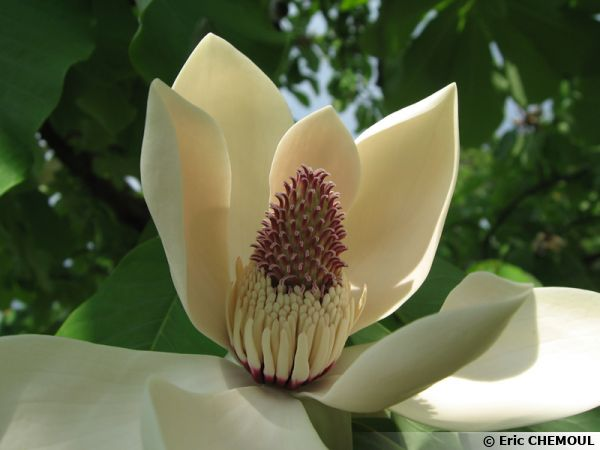 Magnolia du Japon à grandes feuilles, Magnolia hypoleuca