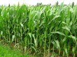 Semer du maïs