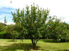 Les variétés de pommiers