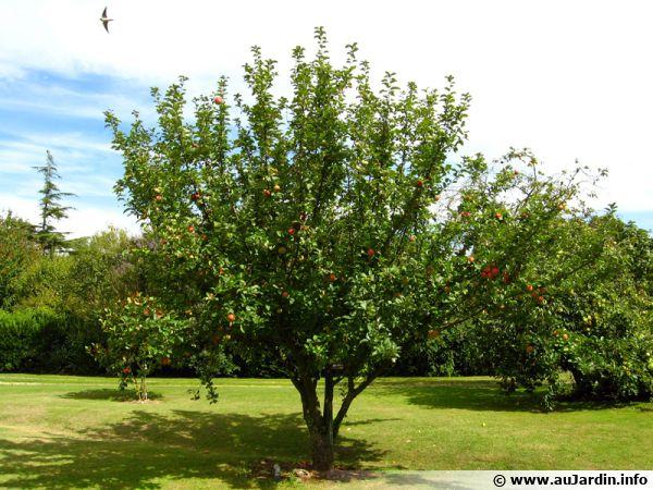 Pommier (Pomme), Malus pumila