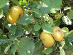 Pommes commerciales dites  « modernes »