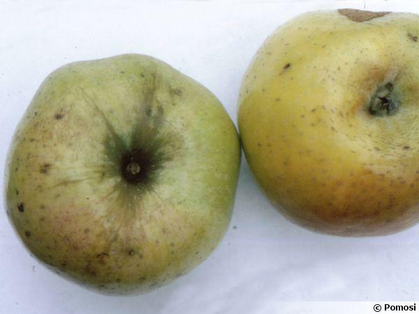Pomme 'Reinette Cuzy'