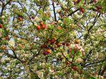 Pommier � fleurs, Pommier d'ornement