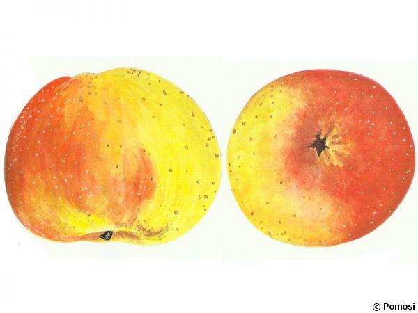 Pomme 'Bouscasse de Bres'