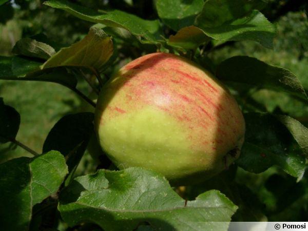 Pomme 'Lavigne'