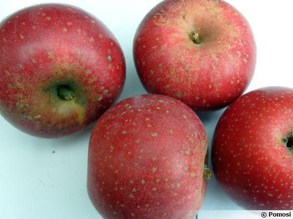 Pomme Reinette Etoilée