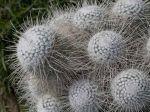 Mammilaire, Mammillaria geminispina
