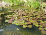 Quelles plantes au bord du bassin?