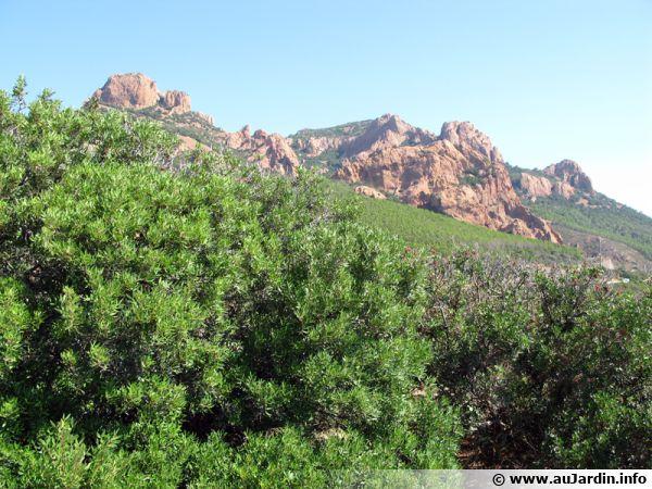 Le massif de l'Estérel abrite une flore méditerranéenne