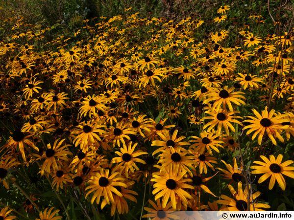 Un massif de rudbeckias en fleurs