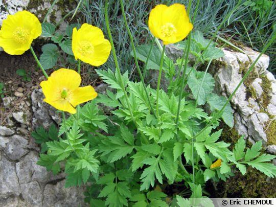 Pavot jaune des Pyrénées, Meconopsis cambrica