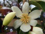 Magnolia persistant du Yunnan, Michelia du Yunnan, Magnolia dianica