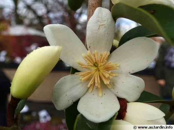 Fleur du Magnolia dianica