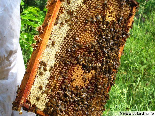 Des abeilles produisant du miel dans la ruche