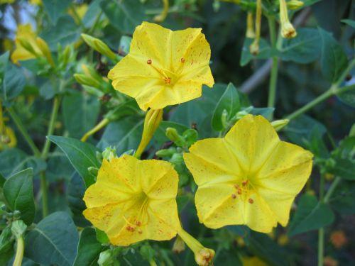 Belle De Nuit Mirabilis Jalapa Planter Cultiver Multiplier