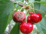 Moniliose sur des cerises, Monilia fructigena