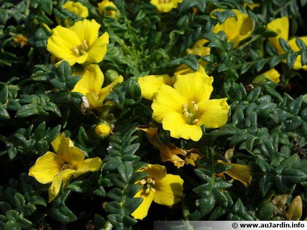 Morisie enfouissante, Morisia monanthos