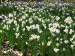 Planter des bulbes de narcisses pour un printemps coloré