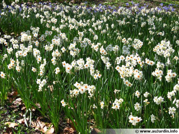 Planter des bulbes de narcisses pour un printemps color for Planter un bulbe amaryllis