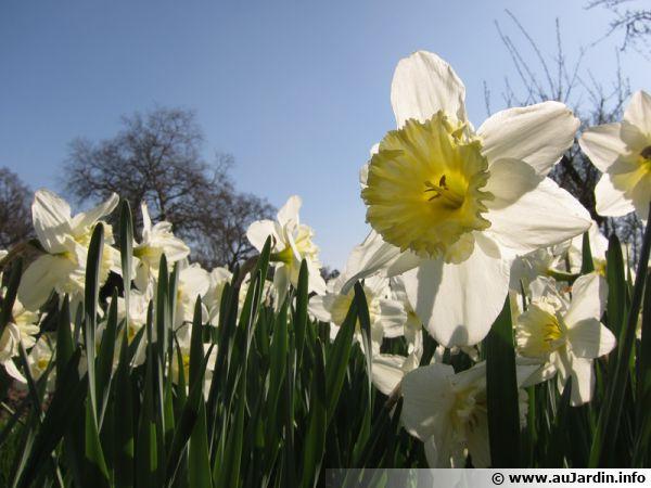 Narcisse, Jonquille, Narcissus