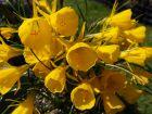Trompette de méduse, Narcissus bulbocodium