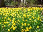 Narcisses aux fleurs jaunes