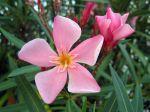 Fleur du laurier rose