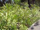 Planter une haie d'arbustes persistants