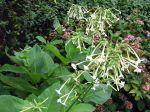 Tabac géant, Tabac sylvatique, Nicotiana sylvestris