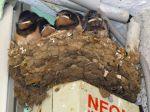 Aider ou ne pas aider un oisillon tombé du nid?