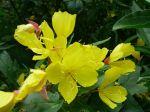 Onagre arbustif, Oenothera fruticosa