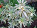 Oïdium, Sphaerotheca pannosa, Podosphaera leucotricha, ...