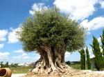 Calig est un olivier de plus de 1800 ans, il a �t� plant� par les romains en l'an 200