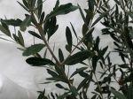 Comment protéger son olivier en hiver?