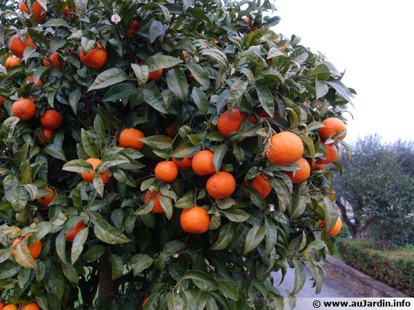 Les agrumes et l'oranger ont besoin d'un substrat adapté pour bien se développer