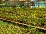 Production industrielle ou artisanale des orchidées, quelles différences ?