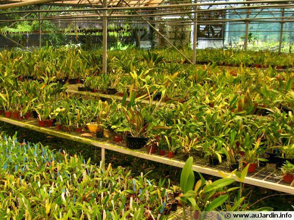 Pépinière artisanale produisant des orchidées