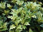 Osmanthe à feuilles variables, Osmanthe faux-houx, Osmanthus heterophyllus 'Tricolor'