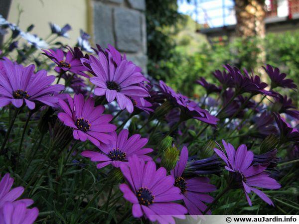 Les ostéospermums peuvent être envisagé pour fleurir un jardin exposé aux embruns