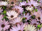 Comment hiverner un osteospermum en pot?