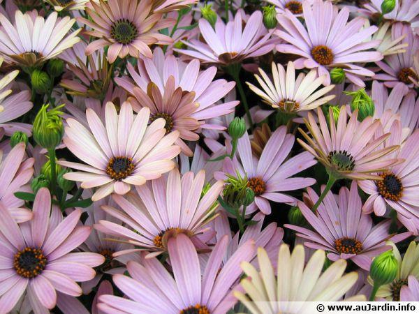 Fleurs d'ostéospermum, une plante non rustique à protéger en hiver