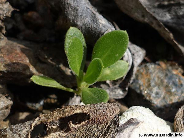 Semis spontané de marguerites du Cap apparaissant entre les cailloux