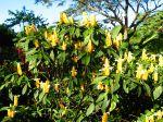 Pachystachys jaune dans son milieu naturel