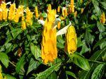 Fleurs du Pachystachys jaune